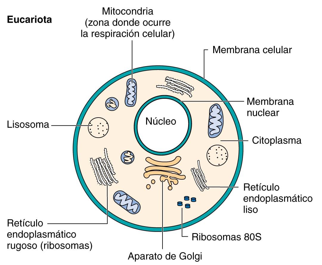 Eucariotas
