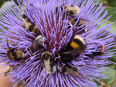 A bumblebee foraging on cardoon (<em>Cyanara cardunculus</em>). (Photo by Sarah Jenkins)