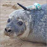 Seals drawn to offshore wind farms and pipelines to forage