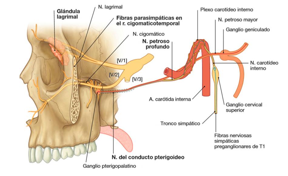 Disección de la cabeza. Anatomía de la fosa pterigopalatina