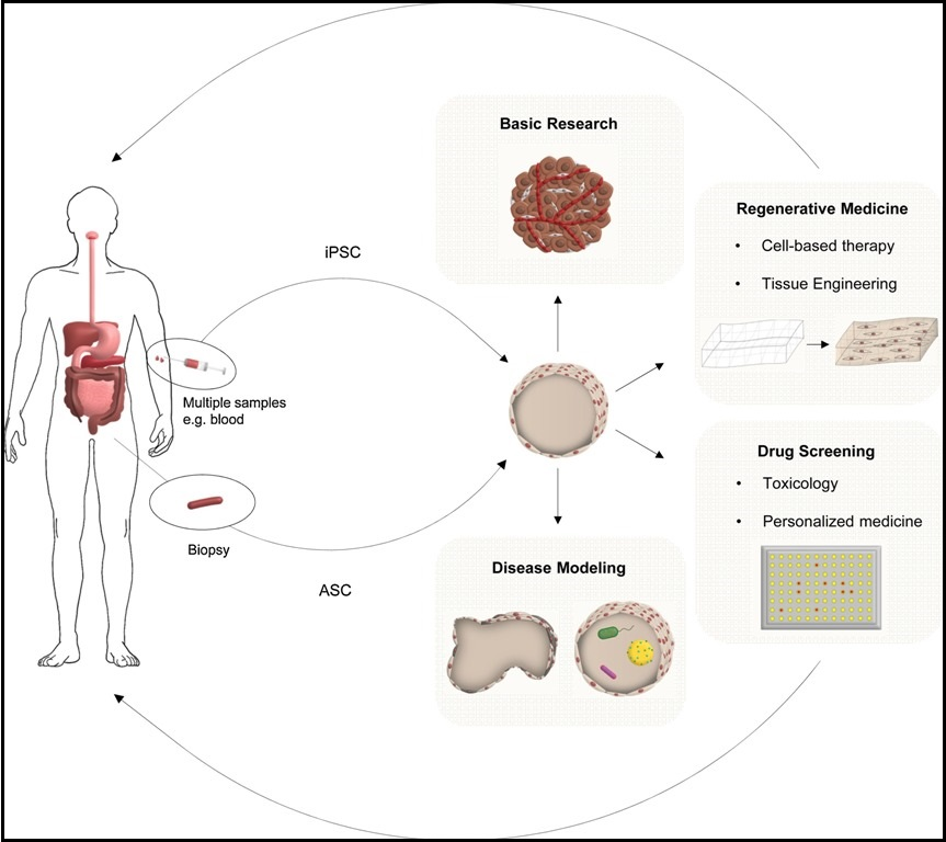 An illustrations displaying the applications of organoids