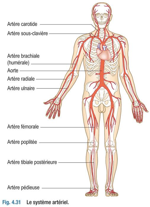 système artériel : anatomie et physiologie