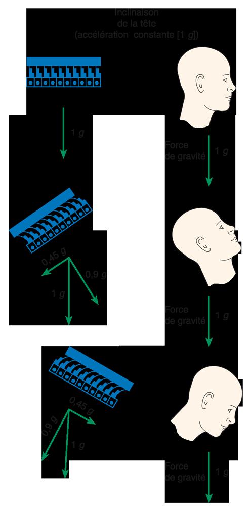 Schéma du déplacement de la membrane otolithique de l'utricule pour montrer comment les stéréocils de la cellule ciliaire sont déplacés lors des mouvements d'inclinaison de la tête.