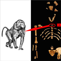 Why Lucy's baboon bone is great for science (and evolution theory)