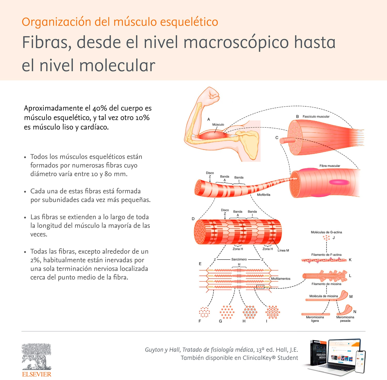 Infografia-MusculoEsqueleticoSLMFisiologia.jpg
