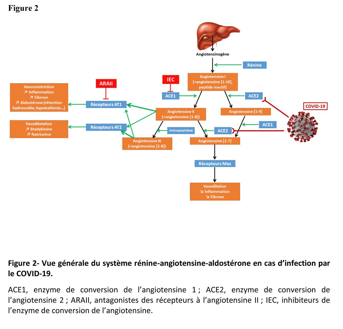 Figure 2- Vue générale du système rénine-angiotensine-aldostérone en cas d'infection par le COVID-19.