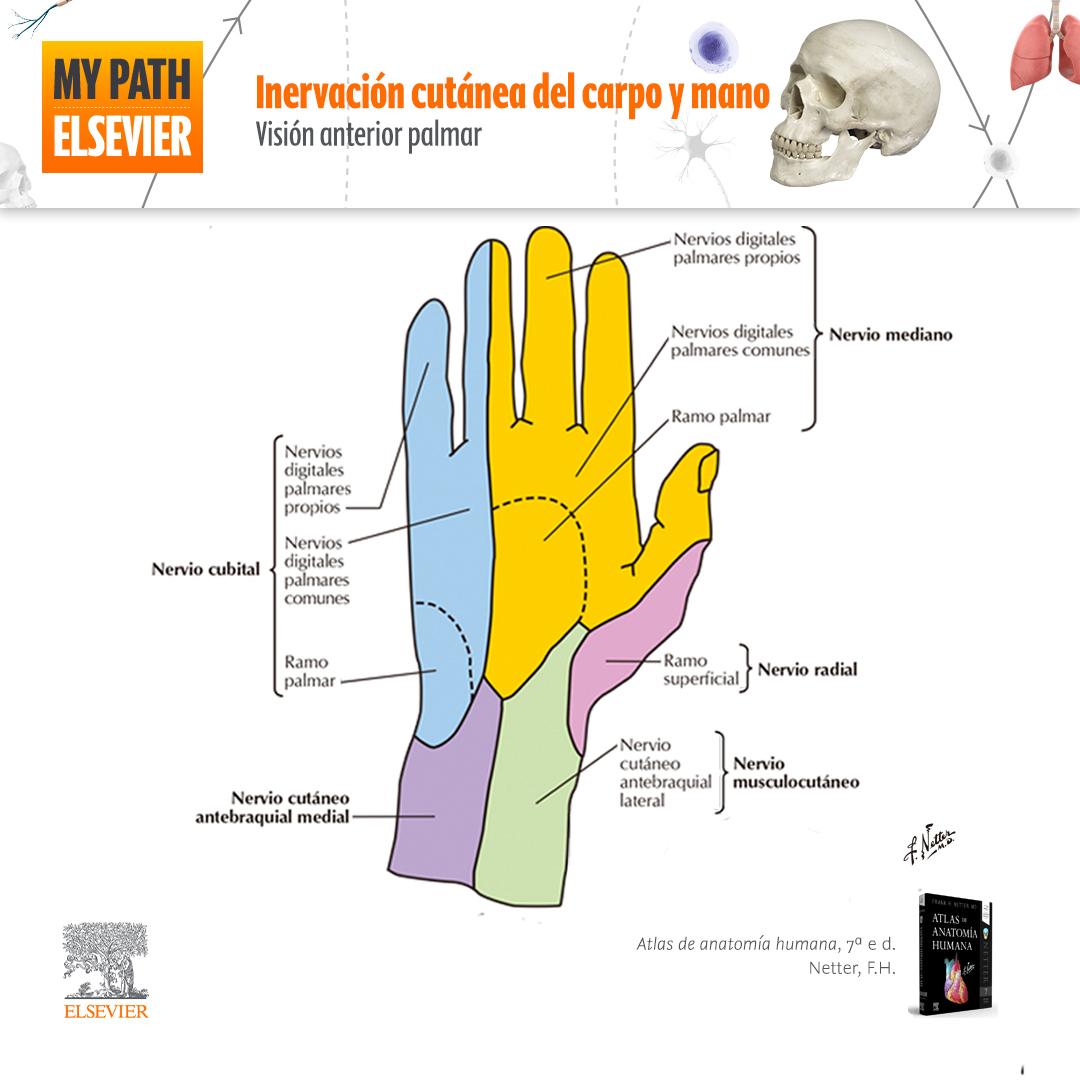 Apuntes de anatomía. Inervación cutánea del carpo y mano