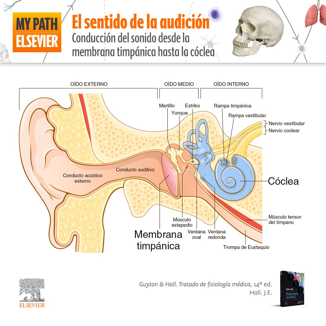 El sentido de la audición: conducción del sonido