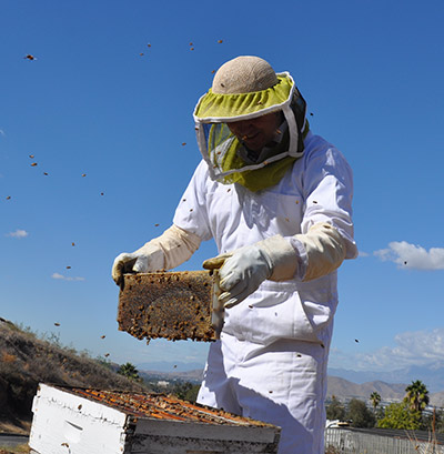 Peter Graystock looking through some of the honeybee hives at the University of California, Riverside (Photo by I. Pittalwala)