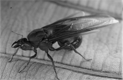 A winged queen ant (içá) photographed by Luciano Candisani in Santana de Parnaíba, 45 km northwest of Sao Paulo. (Source: Diogo de Carvalho Cabral, <em>Journal of Historical Geography</em>, September 2015)