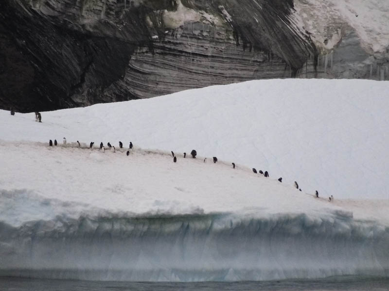 Adélie penguins near Mount Siple in February (Photo by Carles Pina i Estany)