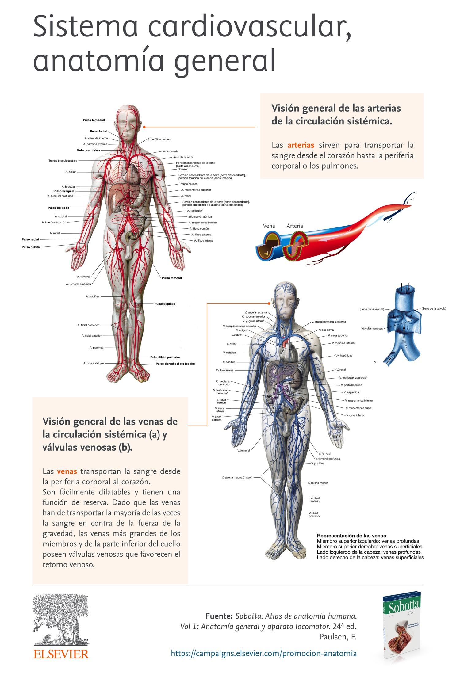 Infografía sistema cardiovascular