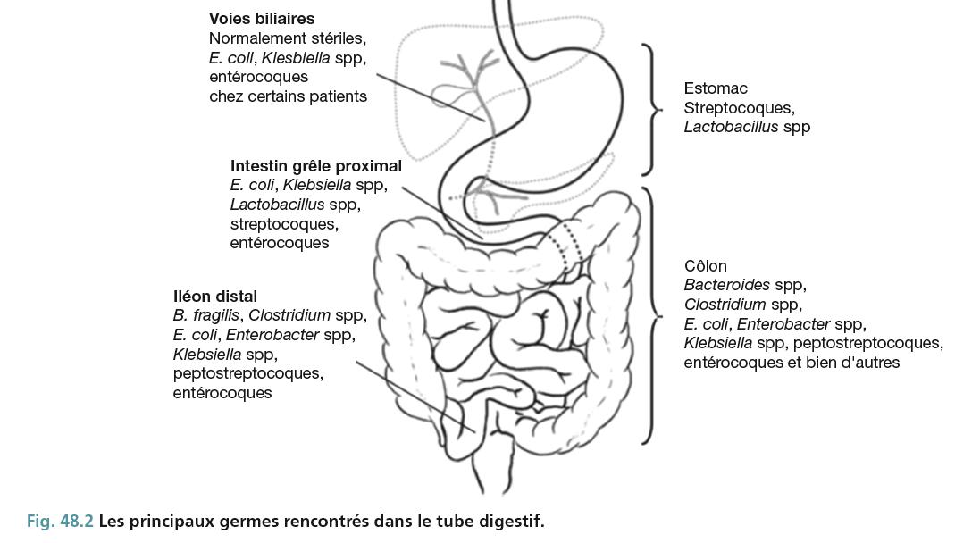 Fig. 48.2 Les principaux germes rencontrés dans le tube digestif.