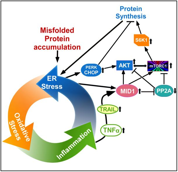 Graph showing how the path of how the misfolded protein accumulation creates a self-perpetuating cellular stress loop.