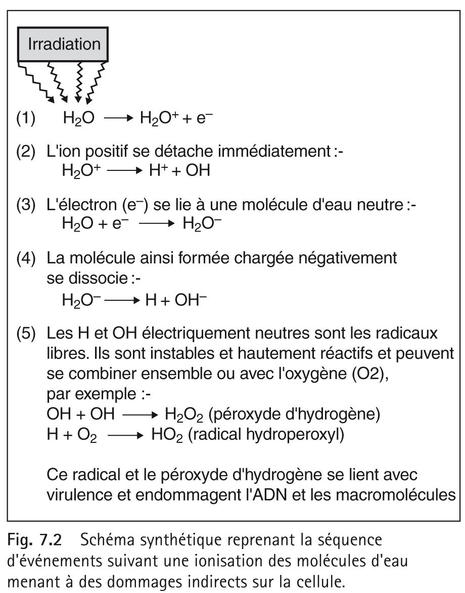 Schéma synthétique reprenant la séquence d'événements suivant une ionisation des molécules d'eau menant à des dommages indirects sur la cellule.
