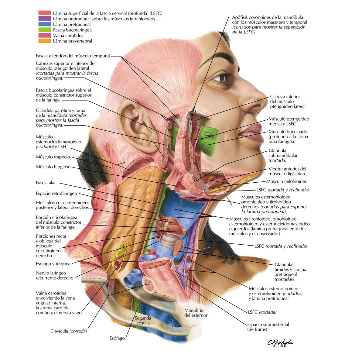 La historia detrás del 'Atlas de anatomía humana' de Netter