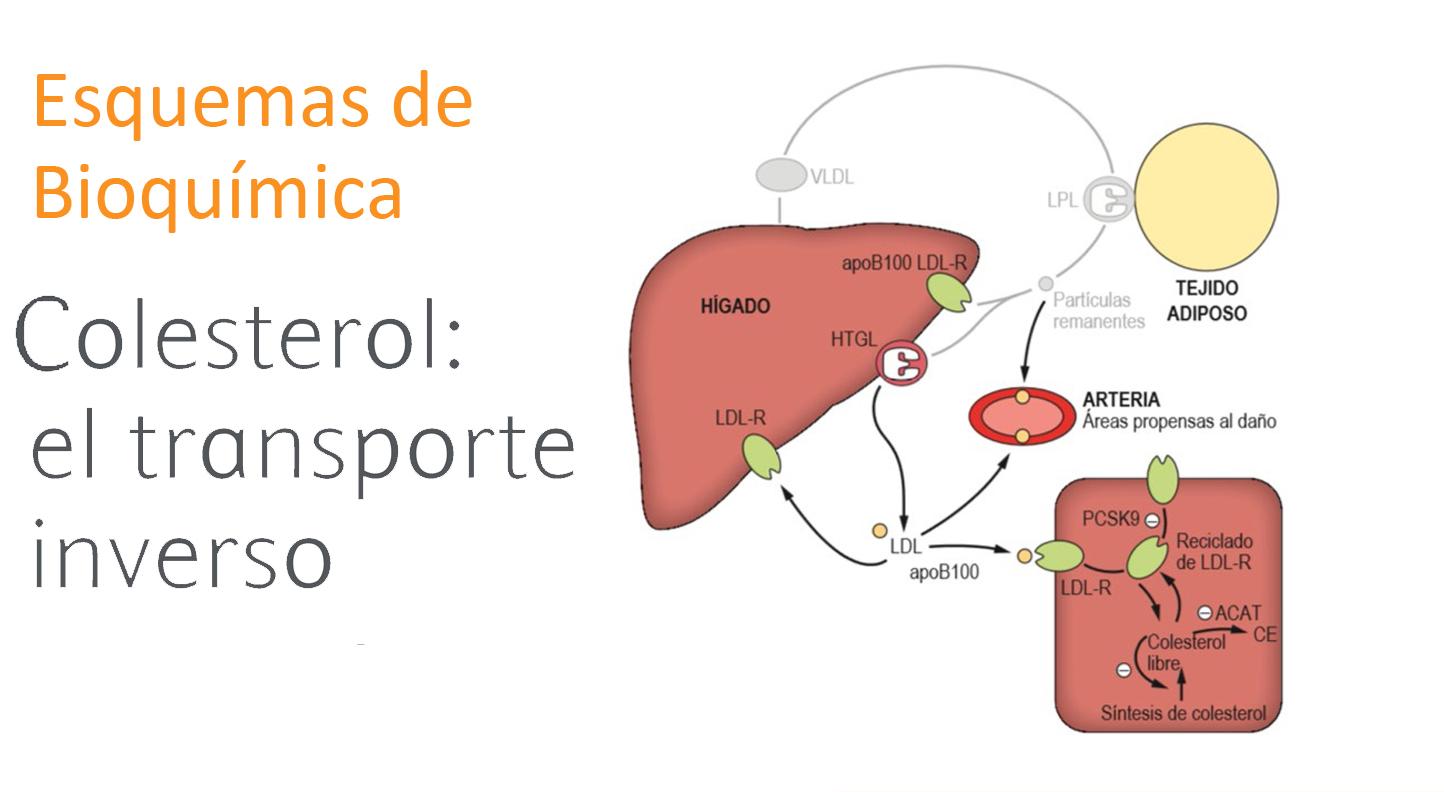 Metabolismo de la distribución del colesterol: el transporte inverso