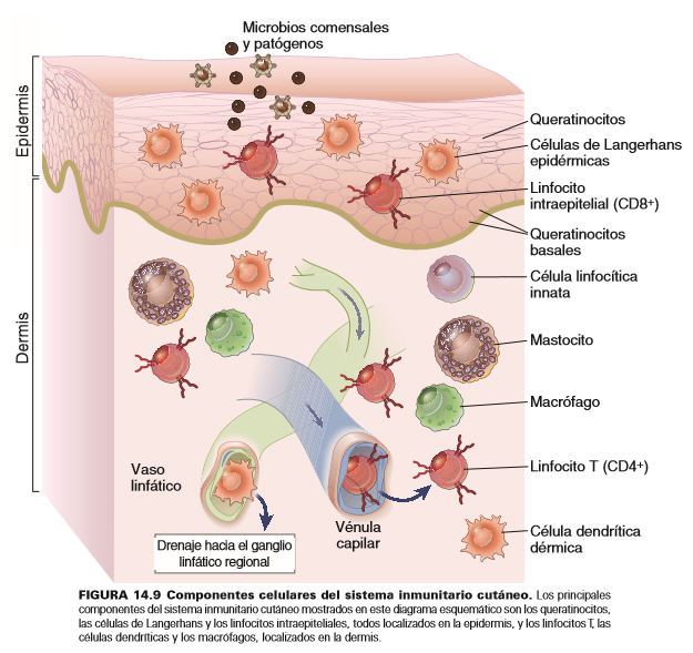 Inmunología epidermis componentes