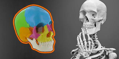 Tentez de remporter 1 crâne articulé ou 1 squelette