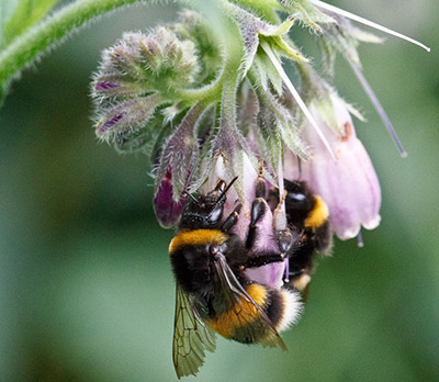 Foraging bumblebees. (Photo by Dave Goulson)