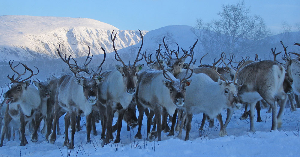 A reindeer herd in southern Norway (Photo © Lavrans Skuterud)