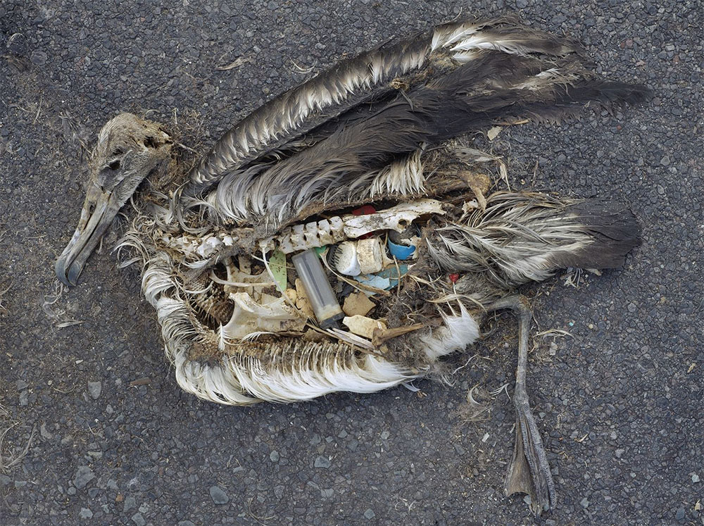 This albatross died after ingesting plastic objects.  (Photo by Chris Jordan via US Fish and Wildlife Service Headquarters, <a target=&quot;_blank&quot; href=&quot;http://creativecommons.org/licenses/by/2.0&quot;>CC BY 2.0</a>, <a target=&quot;_blank&quot; href=&quot;https://commons.wikimedia.org/wiki/File%3AAlbatross_at_Midway_Atoll_Refuge_(8080507529).jpg&quot;>via Wikimedia Commons</a>