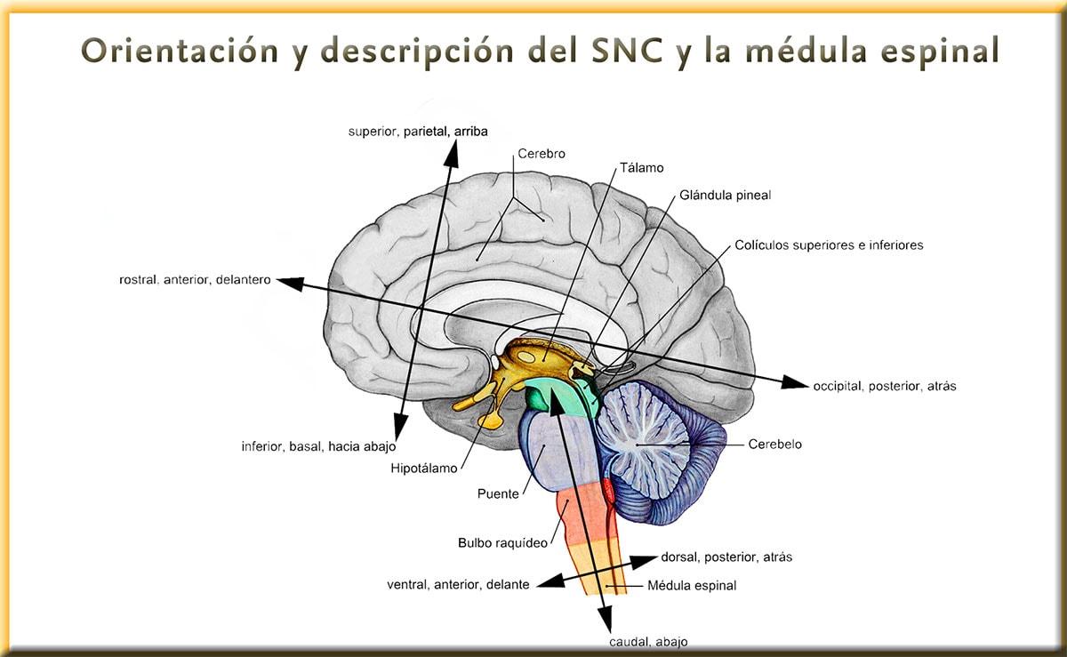 Ejes de Forel y de Meyner: división del sistema nervioso central (SNC)
