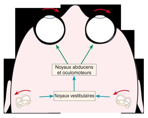 Action du réflexe vestibulo-oculaire provoquée par la rotation de la tête vers la gauche