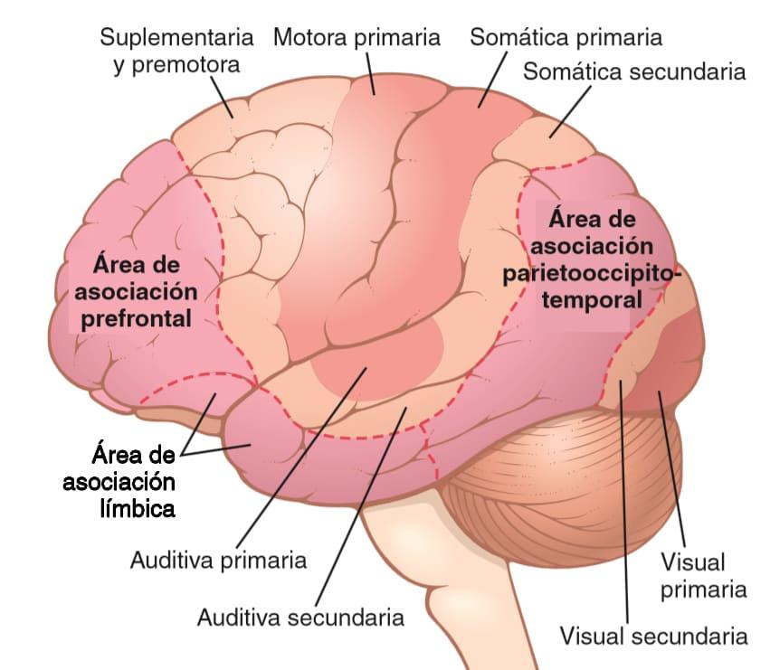 Áreas del cerebro