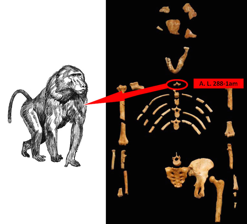 The researchers found that Lucy's vertebra A.L.288-1am actually belonged to the extinct baboon relative Theropithecus (Source: Marc R. Meyer et al, <em>Journal of Human evolution</em>, June 2015)