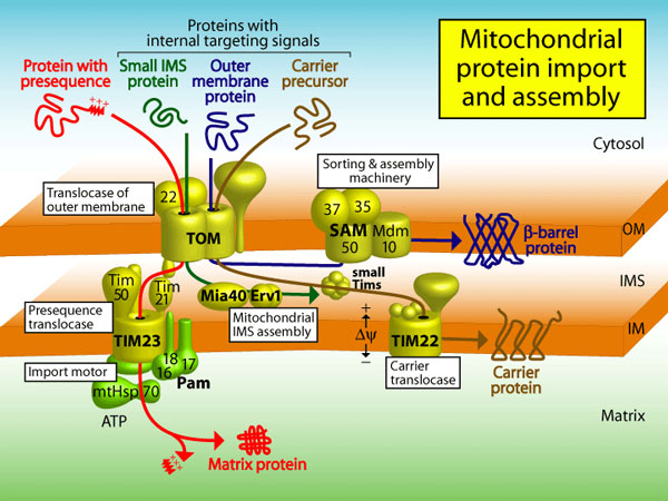 A slide from Prof. Pfanner's Otto Warburg Award Lecture shows the import and assembly of proteins in mitochondria.