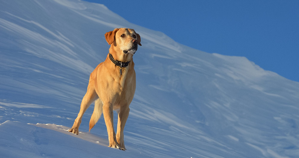 "Some pets love the winter weather, but it's still important to monitor them for frostbite and hypothermia (tips below). This is Niko, a yellow lab, posing on Mount Hood in Oregon. (Photo © <a href=""https://www.instagram.com/eva_marsh/"">Eva Marsh</a>)"