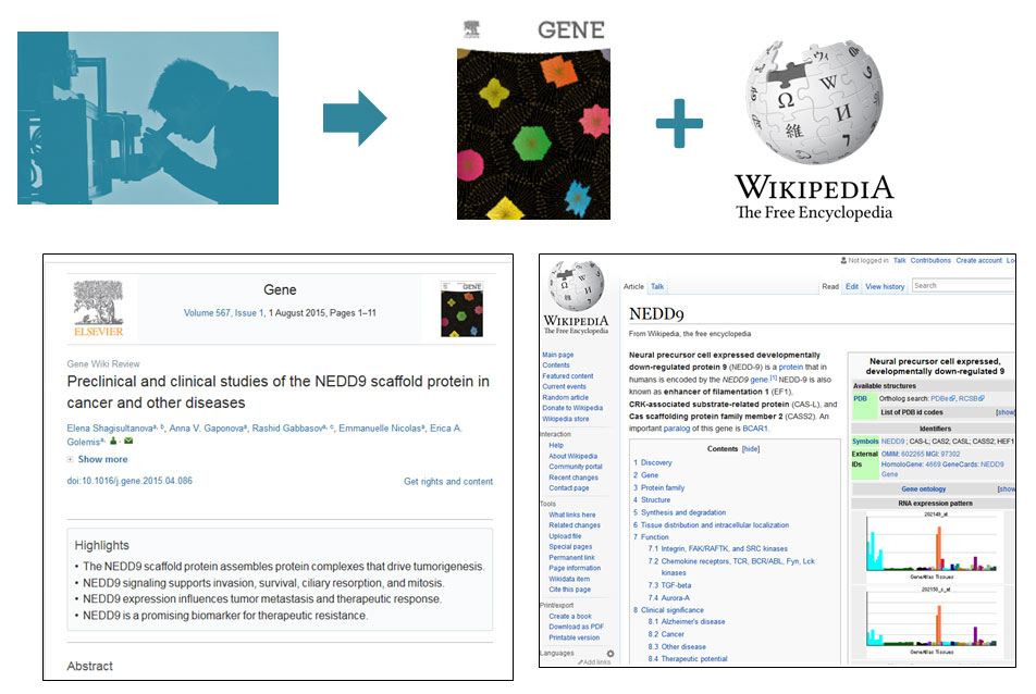"Experts on notable genes are invited to contribute to the Gene Wiki Review series under a dual publication model, in which authors commit to both writing an article for the journal <em>Gene</em> and significantly improving the corresponding Wikipedia article. This design creates two versions that have distinct functions — one article of record that can be cited and treated as an authoritative snapshot of the field, and one ""living article"" on the web that will continue to evolve as new biological insights are revealed. (Illustration by Anne Ruimy and Ginger Tsueng)"