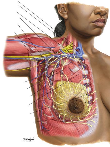 Ilustración Dr Machado Netter mujer torso