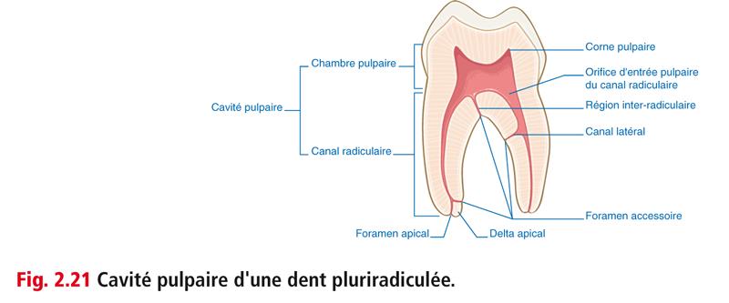 Fig. 2.21 Cavité pulpaire d'une dent pluriradiculée.