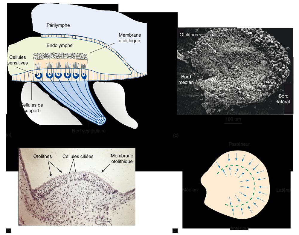 (a) Schéma de la structure de l'épithélium sensoriel du saccule et de l'utricule. (b) Coupe à travers l'épithélium sensoriel de l'utricule. Une grande partie de la membrane otolithique gélatineuse a été perdue lors de la préparation de l'échantillon, mais de petits cristaux de carbonate de calcium (otolithes ou otoconies) peuvent être vus noyés dans sa surface. (c) Micrographie électronique à balayage de la macule de l'utricule d'une souris. Noter que les plus gros cristaux sont situés sur les zones externes de l'épithélium sensoriel. (d) Schéma montrant la sensibilité directionnelle des cellules ciliées de la macule (c'est-à-dire leur polarisation morphologique). (