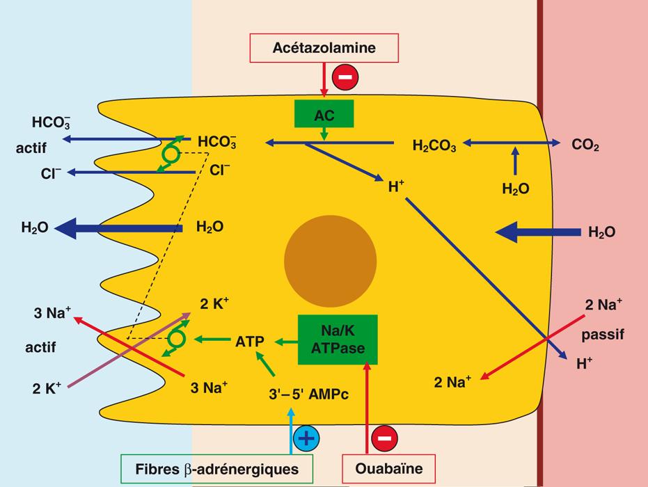 Neurophysiologie production du LCR