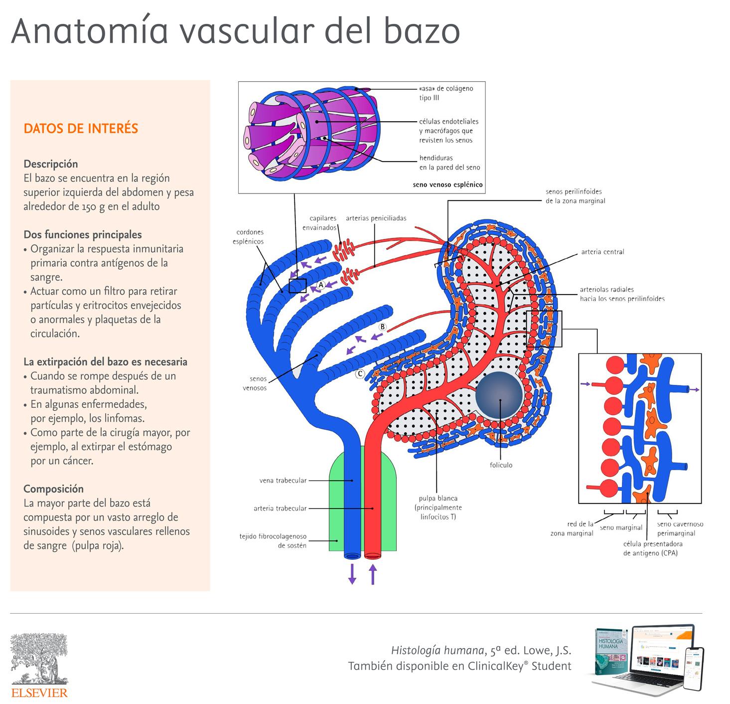 Apuntes de Histología. Anatomía vascular del bazo