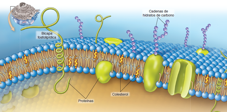 Estructura membrana plasmática