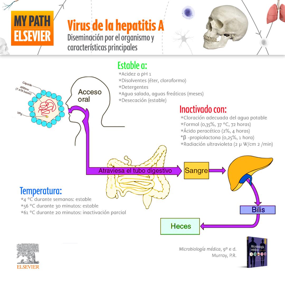 Virus de la hepatitis A: diseminación por el organismo y características principales