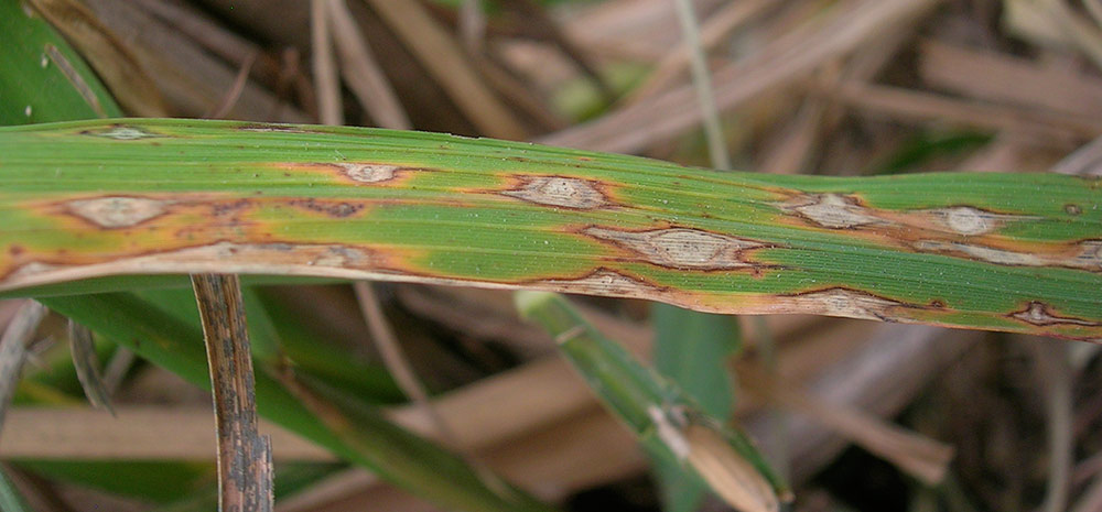 Rice blast, caused by <em>Magnaporthe oryzae</em>, occurs in 85 countries and causes a 10 percent to 35 percent loss of harvest. (Photo by Nick Talbot, University of Exeter)