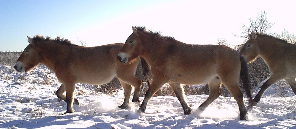Wild horses in the Chernobyl Zone (Credit: <a target=&quot;_blank&quot; href=&quot;http://www.ceh.ac.uk/TREE&quot;>TREE project</a>)