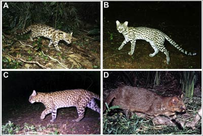 Cryptic new species of wild cat identified in Brazil