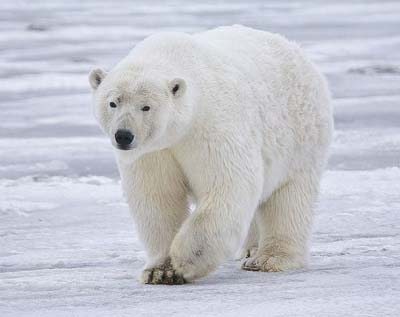 No need to worry? (Photo of a polar bear on the Arctic coast of Alaska, by Alan Wilson for naturespicsonline.com)