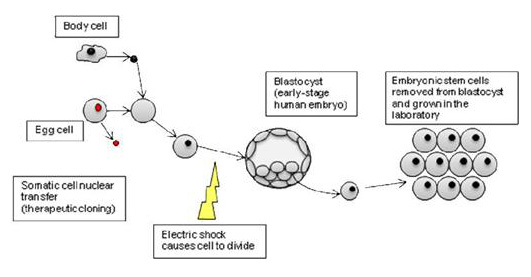 Somatic cell nuclear transfer (SCNT)