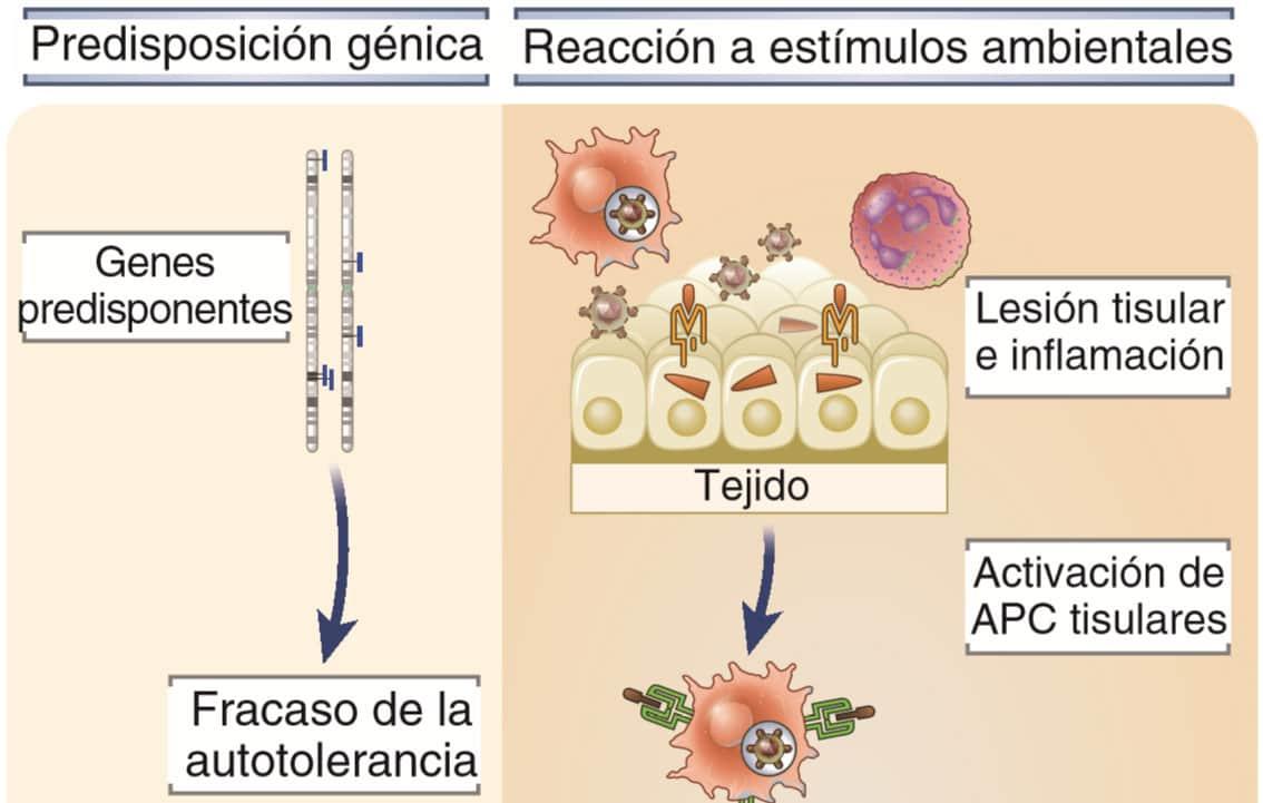 Mecanismos de la autoinmunidad
