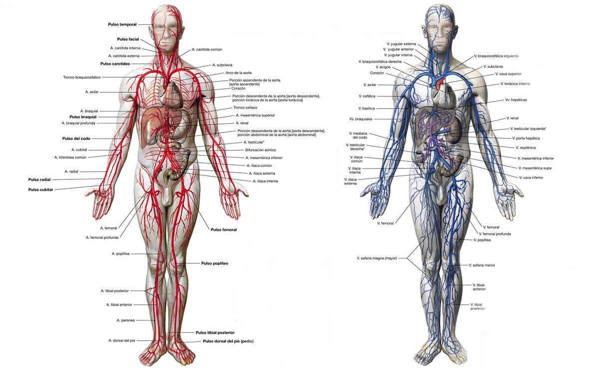 Sistema cardiovascular, anatomía general: arterias y venas