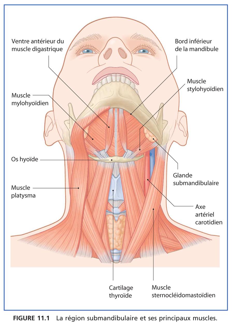 Région submandibulaire : Anatomie_1