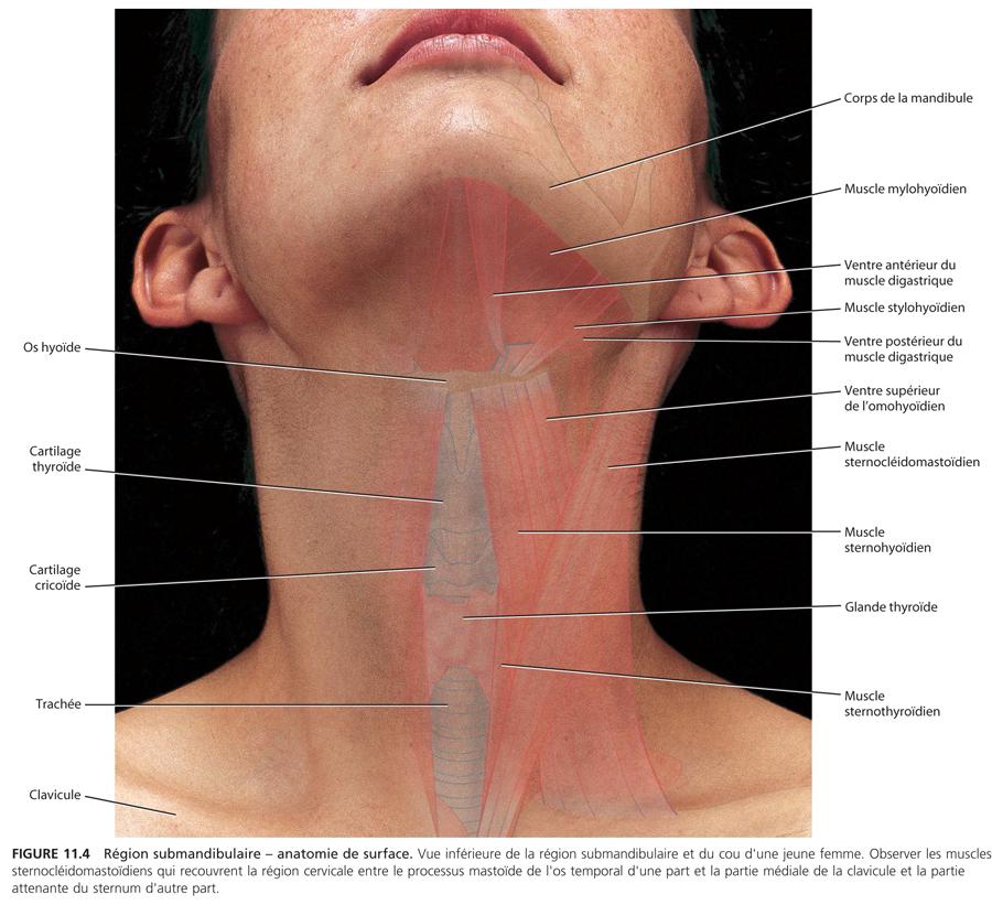 Région submandibulaire : Anatomie_4