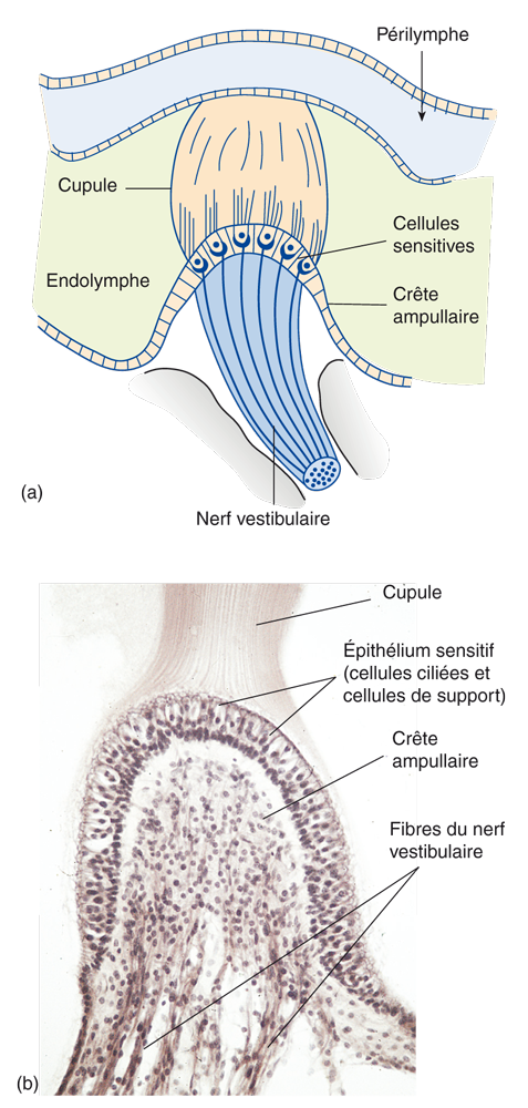 (a) Schéma de la structure des ampoules des canaux semi-circulaires. (b) Coupe transversale de l'ampoule montrant l'épithélium sensoriel plus en détail.